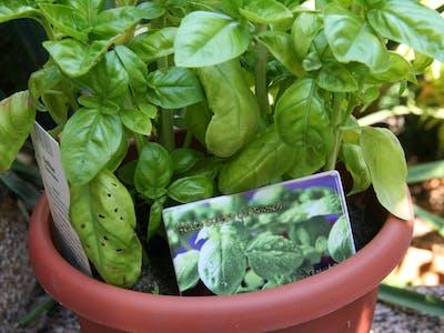 Pixum Fotomagnet, gestaltet als Gartenmagnet für Basilikum.